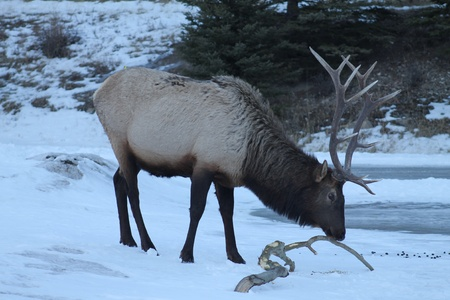 Large Bull Elk Eating Bark photo