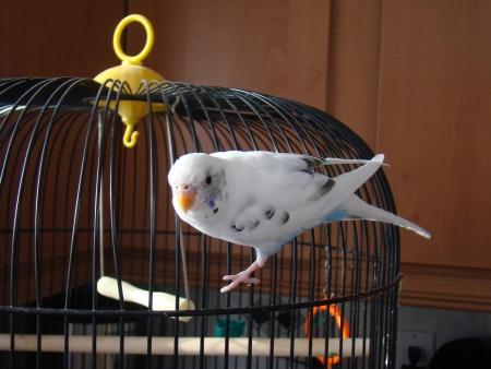 Cute Budgie Bird