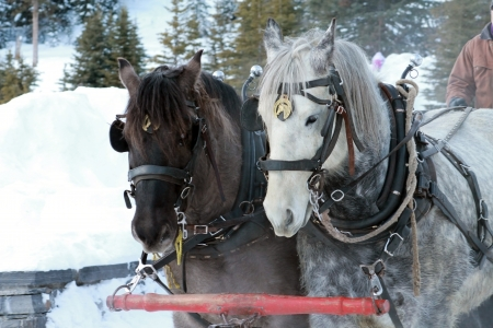 horses pulling sleigh Stock Photo