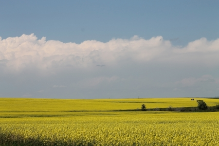 colourful canola field in bloom Stock Photo