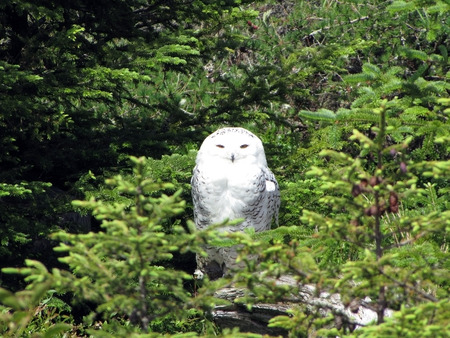 snowy owl aka spirit owl Stock Photo