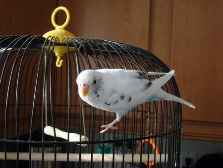 budgie: little budgie Stock Photo