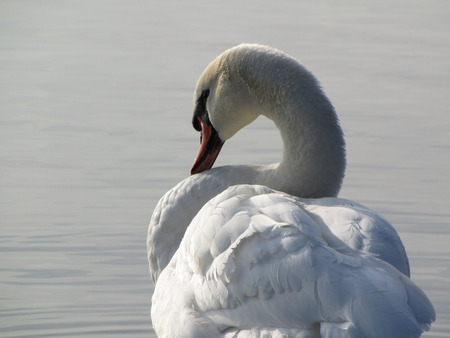 swan close up preening