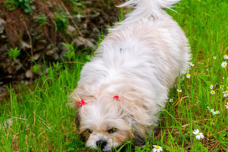 sniffing: A dog is sniffing at flowers