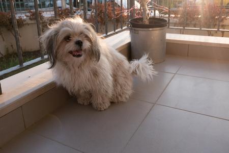decorative balconies: Shih tzu dog is sitting at balcony