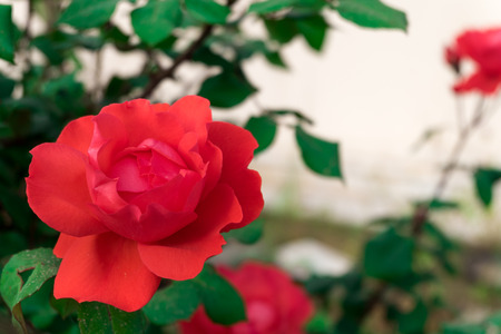 rose tree: Red rose on a rose tree