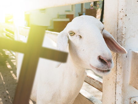 lamb of god: 3D rendering of cross with a sheep, christain concept, lamb of god