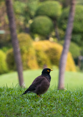 common myna bird: The common myna (Acridotheres tristis) green grass feild with copy space