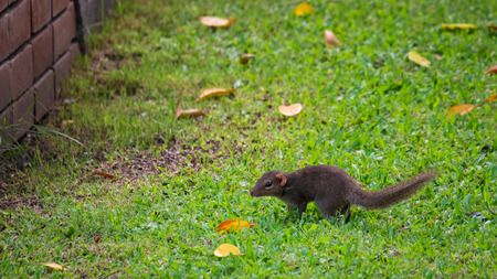 Squirrel walking on green grass facing to the wall
