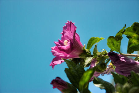 sharon: Blooming rose of sharon (Hibiscus syriacus althea), against blue sky