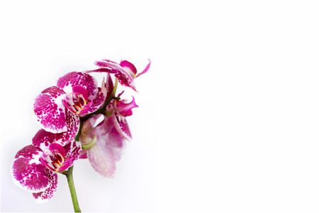 Pink orchid flowers in bloom, isolated on white background; floral background with copy space
