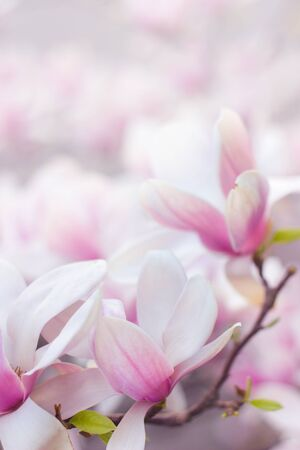 Beautiful magnolia flowers; spring floral background