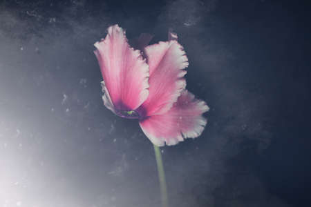 Pink cyclamen flower isolated on black background with copy space