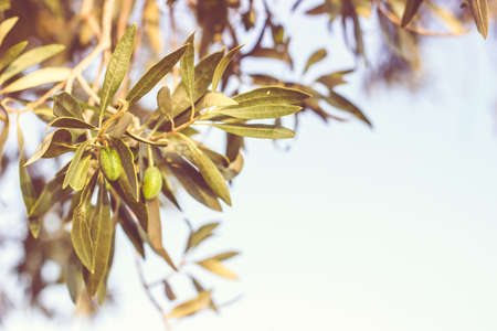 Olive tree branch with unripe olives. Food/nature background with copy space Standard-Bild