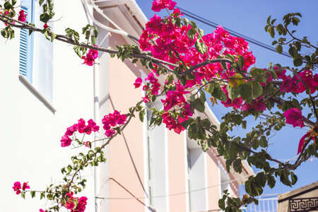 Details of pink flowers against traditional greek houses in background