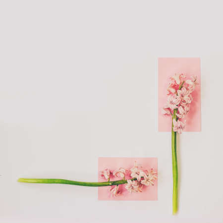 Pink hyacinth flowers on white background; Spring flowers minimal background with copy space Standard-Bild