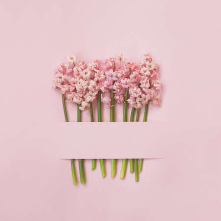 Pink hyacinth flowers on pink background; Spring flowers minimal background with copy space