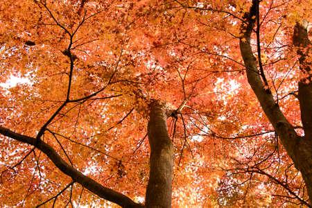 kamakura: Autumnal leaves in kamakura