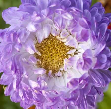 asters: Purple asters