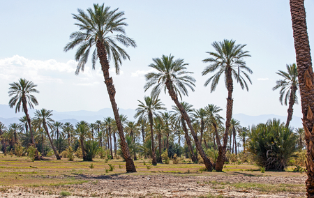 Stand of palm trees on the desert floor of the Coachella Valley Stock Photo