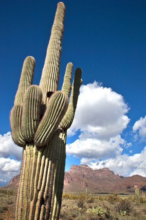 superstition: Giant saguaro cactus near the Superstition Mountains