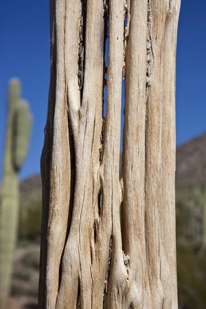 Closeup of Saguaro Cactus Skeleton