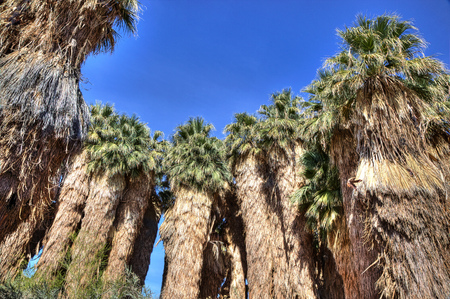 Very old palm trees in a California wetlands habitat Stock Photo