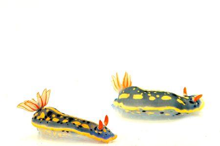 sea slug: sea slug