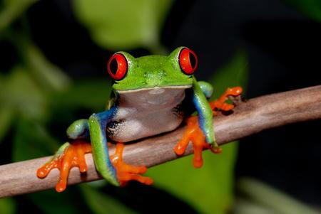 bloodshot: Bloodshot eyes Tree Frog