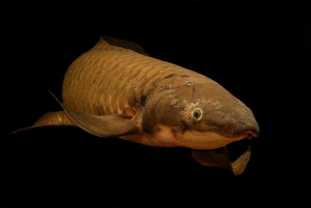 a freshwater fish: An ancient fish