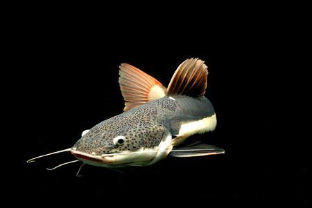 freshwater aquarium: Catfish Stock Photo