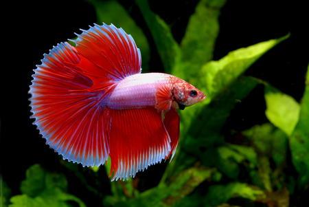 pez pecera: peces tropicales