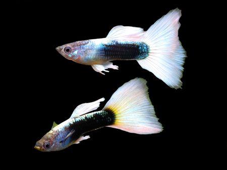 guppy fish: German yellow guppy