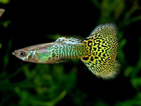 guppy fish: King cobra guppy