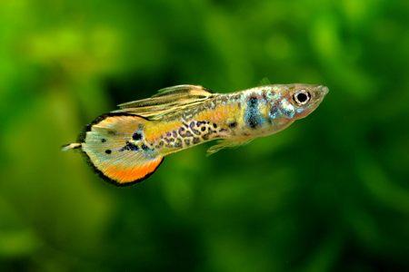 guppy fish: Pin tail guppy
