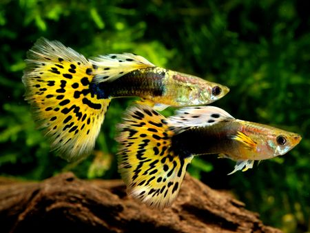 guppy fish: leopard guppy