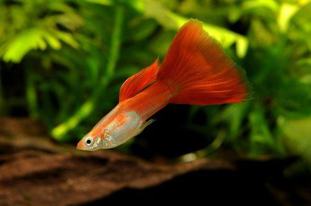 guppy fish: Flamingo guppy