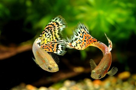 guppies: Two red glass guppies