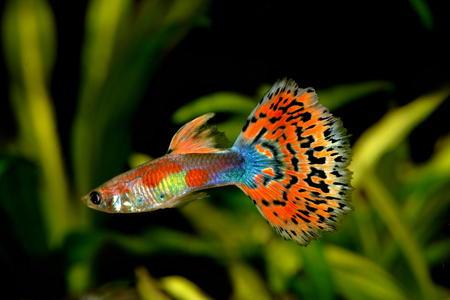 guppy fish: Mosaic guppy