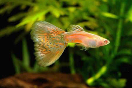 guppy: Albino guppy