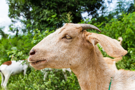 brown goat: Brown goat on the farm. Stock Photo