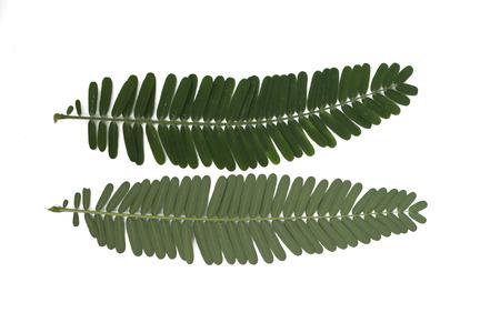 tamarindo: hojas verdes de la planta de tamarindo caballo, el �rbol de plomo, g�nero Leucaena Acacia, con blancas flores de color marr�n verde sobre fondo blanco Foto de archivo