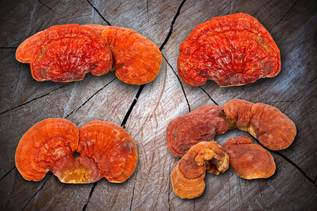 lucidum: Lingzhi Mushroom Ganoderma Lucidum Isolated on wood background