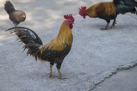 cockfighting: A gamecock is a type of rooster and game fowl, a type of chicken with physical and behavioral traits suitable for cockfighting.