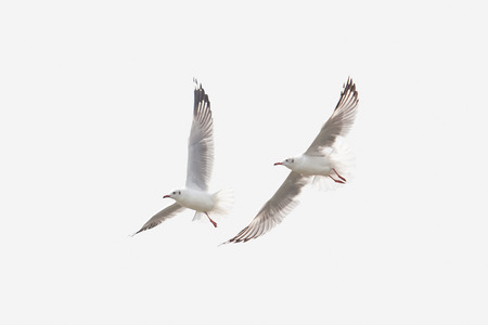 Twin Seagull Flying Isolated on White Background Sky Symbol of Freedom Concept