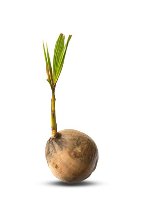 coconut seedlings: coconut tree ( young ) Stock Photo