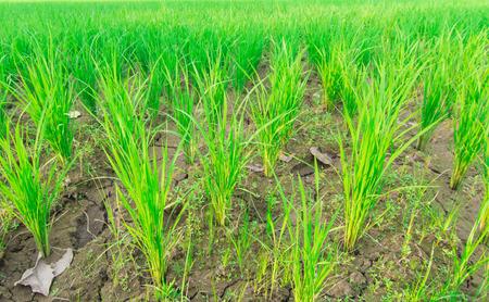 cornfield: Cornfield plant