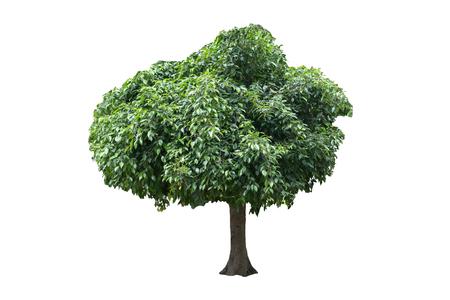 caoba: Árbol aislado en el fondo blanco