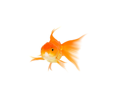 gill: Gold fish. Isolation on the white Stock Photo
