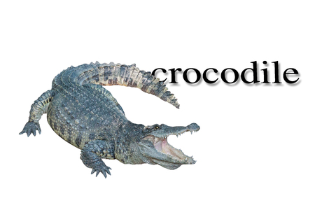 crocodile isolate on white background. Stock Photo